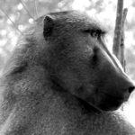 baboonhead